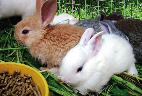 преимущества комбикорма для питания кроликов